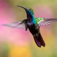cropped-colibris